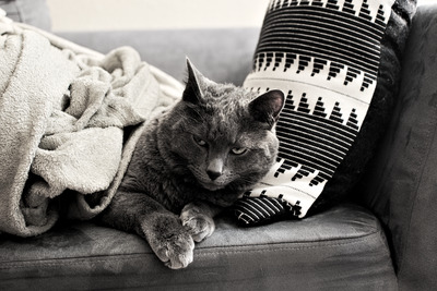 Black and white photograph of a cat under blankets, laying on a couch.