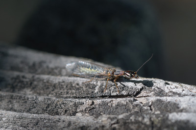 A macro photograph of a snakefly of unknown species.