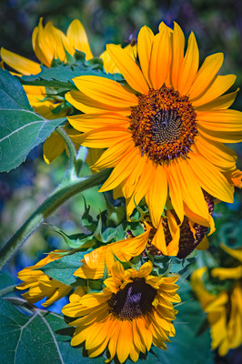 Color graded photograph of several sunflower blooms.