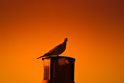 A morning dove perched on a chimney color graded red and orange.